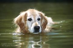Foster swims (Russ Beinder) Tags: dog chien water senior topv111 swim goldenretriever topv333 topc50 topv999 canine topv777 noiseninja mb flickrsoupforthesoul k9 lakemanitoba fsftsblog topvaa challengeyouwinner flickrdiamond flickrelite 0107170614 benykspoint