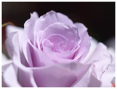 Rose 070520 #02