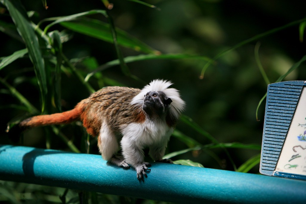 free downloading videos of cotton top marmoset monkey