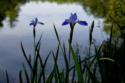 water iris 1