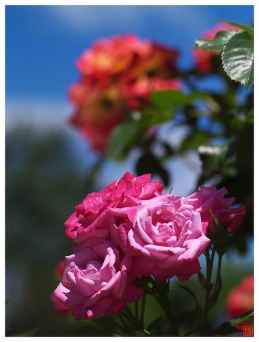 Rose 070520 #13