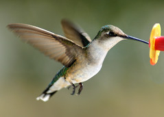 Sipping Pretty (coka_koehler) Tags: bird birds inflight nikon hummingbird hummingbirds d200 capture humming hummers nikond200 nikoncapture supershot capturenx nikoncapturenx anawesomeshot impressedbeauty