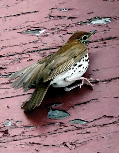 a wood thrush, slightly stunned by a collision with a window