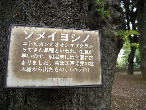 08 飛鳥山公園 02.ソメイヨシノに犬のクソ