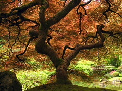 Japanese Gardens Maple (Gigapic) Tags: usa tree japan gardens oregon garden portland japanese maple unitedstates japanesegardens interestingness26 utmtapjg onlythebest challengeyouwinner underthatmapletree favoritesonly aplusphoto ibeauty superbmasterpiece diamondclassphotographer superhearts photofaceoffwinner pfogold herowinner