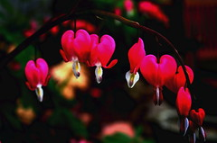 bleeding hearts - and more thanks for Mothers!!! (Vol-au-Vent) Tags: flower nature dedication closeup switzerland women searchthebest heart bokeh mami mothers mums explore bleedingheart karma maman mutter mothersday madre dicentra excellence pfingsten volauvent pentecost iloveit muttertag ftedesmres pentecte supershot interestingness282 i500 abigfave thenamebleedingheartdescribestheuniqueflowerswhichresembletinypinkorwhiteheartswithdropsofbloodatthebottom mothersalwayshaveanopenheart forsebastianwhowroteinmycalendarthatnextsundayisthepolishmothersday etbiensurpourtoutesmesamiesfranaisespresquetoutesdesmamansoudesmamansdevenir