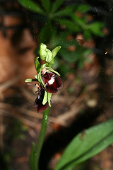 517489477 Fly_Orchid 2007-05-22_20:11:17 Homefield_Wood