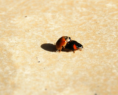 Humping Ladybirds