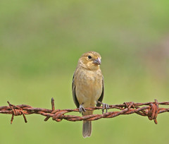 Bird on a Wire (Peggy Collins) Tags: bird nature wire costarica wildlife rusty explore finch tropical tropics osapeninsula birdonawire naturesfinest parkstock variableseedeater featheryfriday interestingness97 i500 abigfave impressedbeauty avianexcellence wonderfulworldmix vivacolorguidescostarica