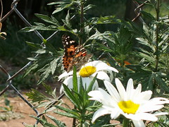 PICT0322 (beckahx) Tags: flower nature butterfly garden paintedlady