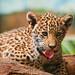 Tonguy cub