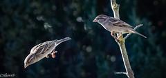 Tu vas ou ??? (Crilion43) Tags: réflex france véreaux divers mésange nature centre canon oiseaux tamron 1200d cher objectif bleue charbonnière passereaux plumes
