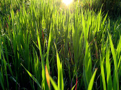 sun in tall grass - sole nell'erba alta by sunshinecity