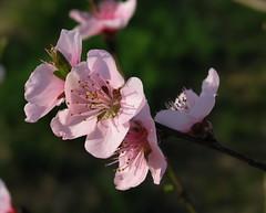 Peach 12
