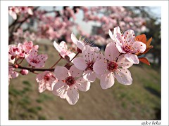 bir dal iek (ak- beka) Tags: pink flower spring blossom bahar iek pembe