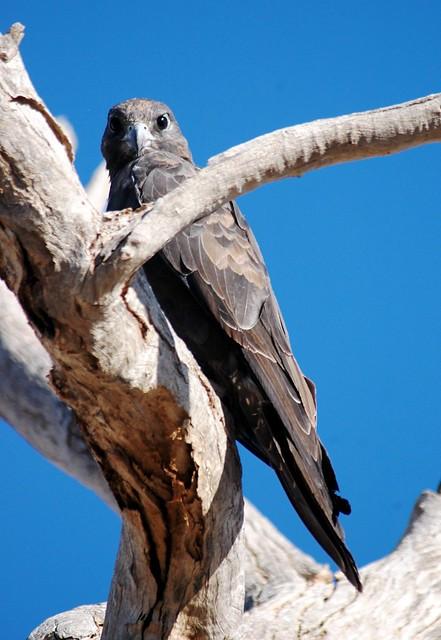 BLACK FALCON Falco subniger