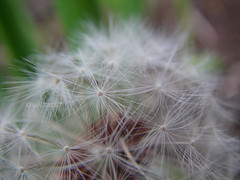 Delicate Wonder (OddBall7) Tags: white plant flower color macro beautiful closeup ball spring stem weed dof close sweet bokeh seed 7 dandelion petal odd seven stunning delicate gentle 2007 naturesfinest wowiekazowie oddball7