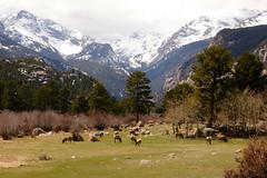 (gainesp2003) Tags: mountains nature landscape colorado wildlife meadow rockymountains rmnp elk wilderness peaks herd grazing rockymountainnationalpark