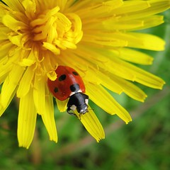 Ladybird, about to leave a dandelion - by nutmeg66