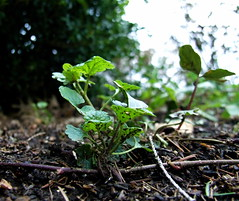 An Insect's View Of The Front Yard (mightyquinninwky) Tags: macro green weed bokeh earth dirt lexingtonky frontyard groundcover layingdown chevychase fontaineroad wetknee
