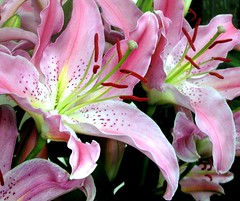 Lilies Lilies - by canonsnapper