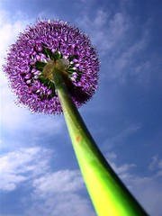 Looking Up (marbil) Tags: sky plant flower colour macro nature beauty closeup clouds wow catchycolors ilovenature spring europe air perspective croatia 2006 lookingup lilac fujif10 greatpix flowerpower flowerpix naturepix interestingness170