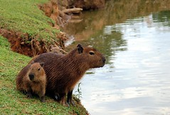 It is the world's largest living rodent. (Arlete Reino Pellanda) Tags: brazil paran animal rodent liberdade curitiba capybara rodentia capivara roedor parquetingui supershot mynikon specnature spectacularnature tinguipark animalkingdomelite abigfave anawesomeshot ultimateshot ultimateshots superbmasterpiece hydrochoerushydrochoeris