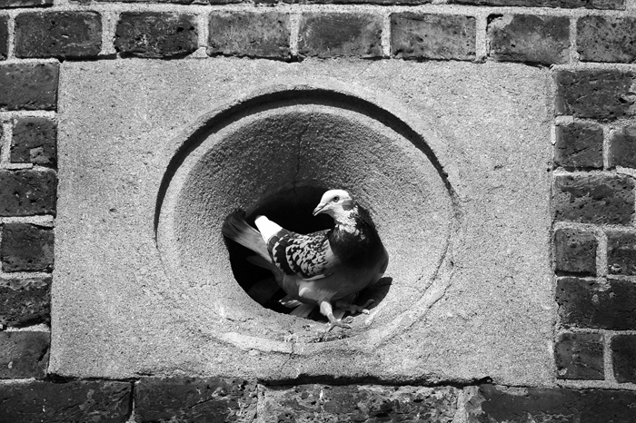 Pigeon :: Click for previous photo