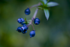 Blue, Berry (Elinesca) Tags: blue green nature berry forrest good tasty bleu delicious blueberry villes yummi abigfave img9896jpg efolio