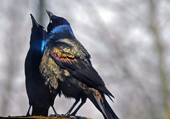 grackle dance - by Steve took it