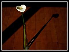 Vase (Kirsten M Lentoft) Tags: shadow flower topc25 calla vase zantedeschia supershot momse2600 kirstenmlentoft