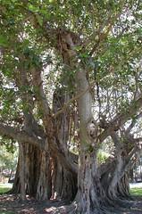 St. Petersburg Tree (urbanFLORIDA) Tags: stpetersburg florida banyantree