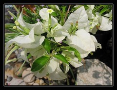 Bougainvillea 'Millionaire' or B. glabra 'Snow White', in our garden