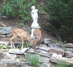 Fawns Enjoying a cooling drink at Arsenic and Old Lace 1