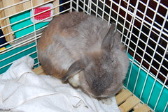 Ear cleaning (jade_c) Tags: pet rabbit bunny animal mammal singapore opal  hollandlop andora  lagomorph opalhollandlop