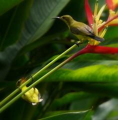 Sunbird II (ah-meng) Tags: garden singapore botanic sunbird