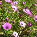 "purple flowers • <a style=""font-size:0.8em;"" href=""http://www.flickr.com/photos/70272381@N00/485743637/"" target=""_blank"">View on Flickr</a>"