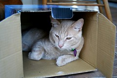 The Duncan Boxed Set (Elkay 724) Tags: pet cats pets cute beautiful cat kitten feline box tabby cream kitty gato kitties buff meow creamsicle catinabox bufftabby buffcoloredcats