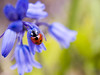 A Ladybug's World (Lloyd K. Barnes Photography) Tags: blue red flower macro green insect beetle views ladybird ladybug bluebell soe interestingness9 naturesfinest zd supershot views500 i500 35mmmacro35 abigfave p1f1 anawesomeshot flickrelite explore20070509 lloydbarnes lloydkbarnes