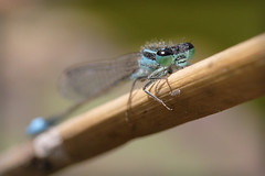Damselfly perspective - by macropoulos