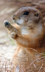 Well, translated out of dutch this is called a prairiedog (The-big-man) Tags: food brown green face grass animal animals dinner zoo eyes kissing eating kisses eat escaped kis specanimal challengeyouwinner motifdchallengewinner motifd