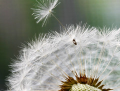 Dandelion seed (Jill's Junk) Tags: macro nature bravo searchthebest seed dandelion labyrinth naturesfinest beautifulearth blueribbonwinner simplythebest beautywithin supershot magicdonkey interestingness117 i500 outstandingshots beautifulcapture mywinners outstandingshot shieldofexcellence tiossealofapproval beautyisintheeyeofbeholder impressedbeauty superbmasterpiece goldenphotographer ithinkthisisart wowiekazowie diamondclassphotographer flickersbest frhwofavs ysplix searchandreward perfectionaward thenaturegroup flickrelite explore110507