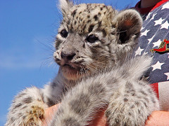 Snow Leopard Cub (Tambako the Jaguar) Tags: wild cute cat cub switzerland big feline kitty fluffy bigcat wildcat snowleopard felid panthera schneeleopard snowkitty uncia loparddesneiges panthredesneiges eichbergzoo