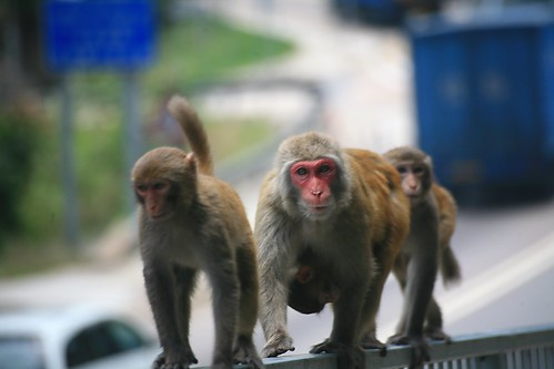 Why Did the Macaque Cross the Road?