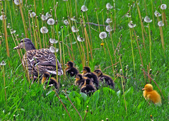 dashing through the dandelions - by Steve took it