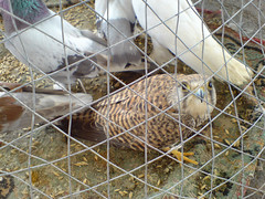 Isa Town Local Market animals (malyousif) Tags: pets animals bahrain pigeons falcon shady kestrel cruelty seedy uncontrolled shiryas isatownlocalmarket