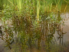 Reeds and Veronica in the croaking pond (hardworkinghippy) Tags: france nature water pond stream wetlands streams permaculture developpementdurable mares alternatives biologique smallholding selfsufficiency environement bourrou lacampagne hardworkinghippy livingofftheland lafermedesourrou zonehumide zonehumidebourrou clearingstreams blockedstream makingponds fairemare
