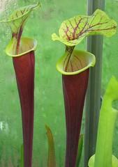 Sarracenia flava var. rubricorpora - by andycpuk