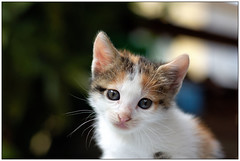 kitty (sausyn) Tags: cute beautiful cat puppy cub nice sweet bokeh young kitty dolce newborn lovely piccolo gatto bianco tender cucciolo gattino sfondo sfocato sfuocato tenero