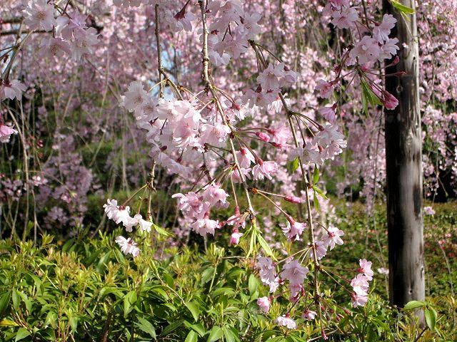 京都・城南宮29 桃山の庭2 さくら紅枝垂桜